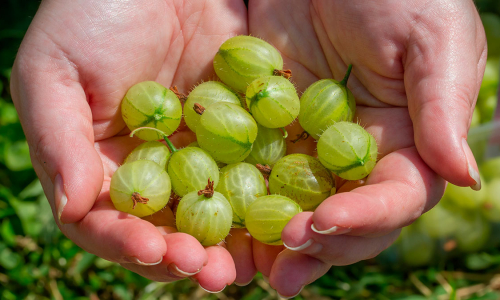 Секрет богатого и вкусного урожая: как правильно ухаживать за крыжовником осенью